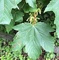 Acer - Érables (cropped 1).jpg