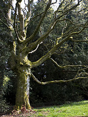 Acer cappadocicum spring.jpg