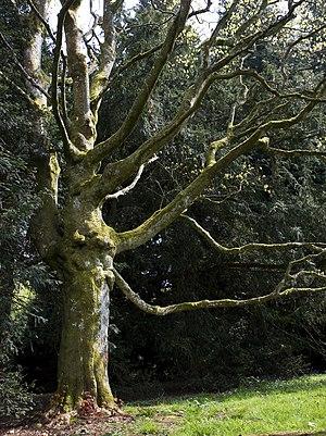 Acer cappadocicum - A mature specimen in cultivation in England