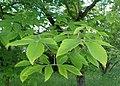 Acer maximowiczianum kz02.jpg
