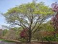 Acer mono, Arnold Arboretum - IMG 5915.JPG