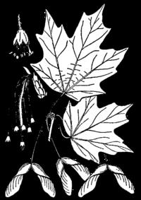 Квіти насіння і листя цукрового клена