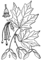 Acer saccharum drawing.png