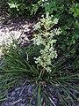 Aciphylla traversii kz02.jpg