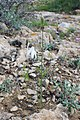 Acis trichophylla kz01 Morocco.jpg