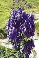 Aconitum napellus inflorescence (43).jpg