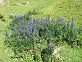 Aconitum napellus plant (12).jpg