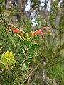 Adenanthos obovatus.jpg