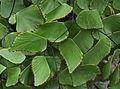 Adiantum peruvianum - serres d'Auteuil.jpg