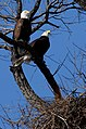 Adult Bald Eagles and Nest (5657716105).jpg