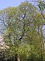 Aesculus flava2.jpg