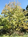 Aesculus flava - University of Kentucky Arboretum - DSC09346.JPG