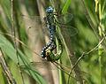 Aeshna-affinis-copula-www.jpg