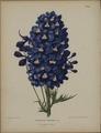 Afbeelding-025-Delphinium formosum.tif