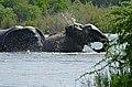 African Elephant (Loxodonta africana) bulls bathing ... (33218637230).jpg