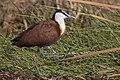 African jacana (Actophilornis africanus) Kenya.jpg
