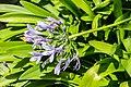 Agapanthus africanus in Botanischer Garten Muenster (1).jpg
