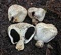 Agaricus inapertus Vellinga 770419.jpg