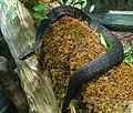 Agkistrodon piscivorus (3).jpg