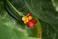 Aglaonema commutatum, Botanischer Garten Dresden.jpg