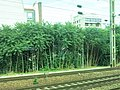 Ailanthus in Asnières train station (trees).jpg