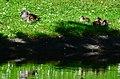 Aix galericulata (Küken) - Nymphenteich Zürichhorn 2013-06-06 15-36-01.JPG