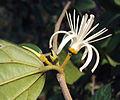 Alangium Salvifolium 17.JPG
