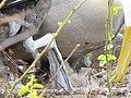 Albatross birds - Espanola - Hood - Galapagos Islands - Ecuador (4871593792).jpg