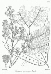 Albizia procera Bra26