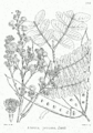Albizia procera Bra26.png