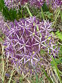 Allium christophii 'Star of Persia' (Alliaceae) flowers.JPG