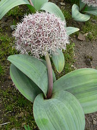 Allium karataviense Karata-Lauch 2007-05-13 347