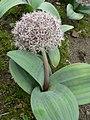 Allium karataviense Karata-Lauch 2007-05-13 347.jpg