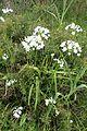 Allium neapolitanum kz5.jpg