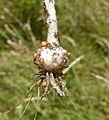 Allium scorodoprasum plant (07).jpg