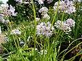 Allium senescens.jpg