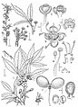 Allophylastrum frutescens drawing.jpg