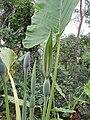 Alocasia sp. (41095496522).jpg