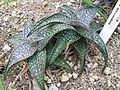 Aloe deltoideodonta1.jpg