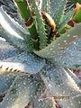 Aloe maculata (4283542430).jpg
