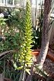 Aloe vera 5zz.jpg