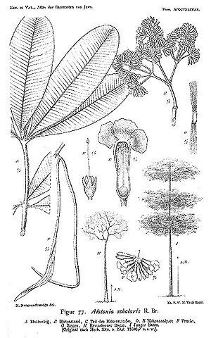 Alstonia scholaris - Devil tree (Alstonia scholaris)