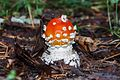 Amanita muscaria (24940733509).jpg
