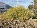 Amaranthus albus sl26.jpg