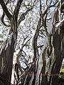 Amazing snow gums in Thredbo.jpg