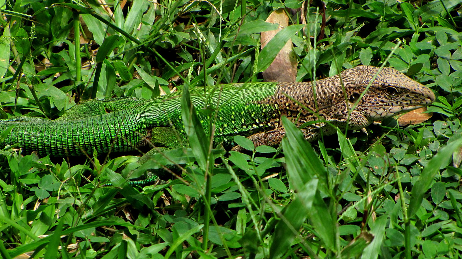 Amazon rainforest reptiles