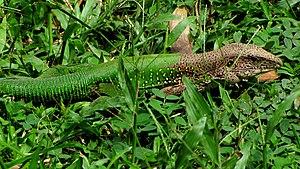 Männchen der Grünen Ameive