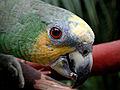 Amazona amazonica -head-8.jpg