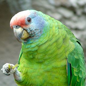 Red-tailed amazon - Upper body
