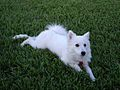 American Eskimo Dog 3.jpg